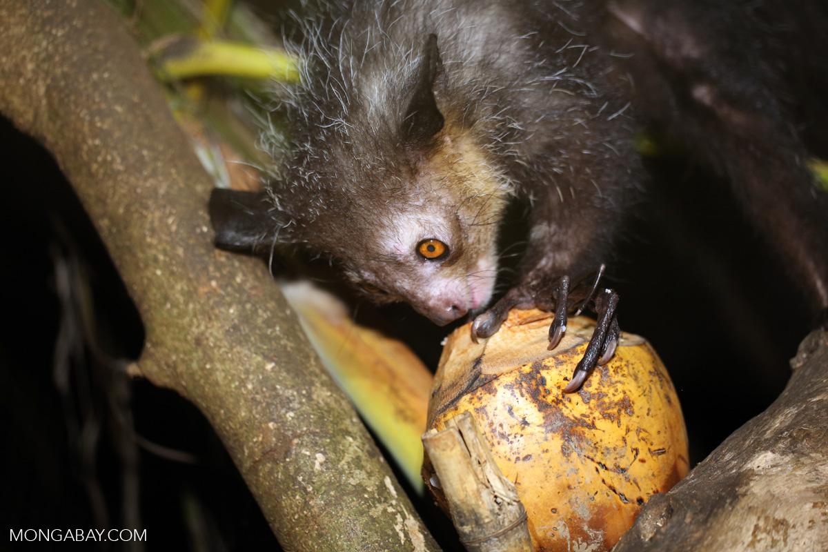 Aye-aye feeding on a coconut [madagascar_tamatave_0019]