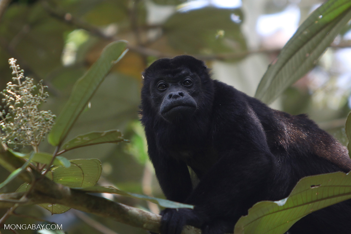 Howler monkeys are often targeted by hunters. Photo by Rhett A. Butler