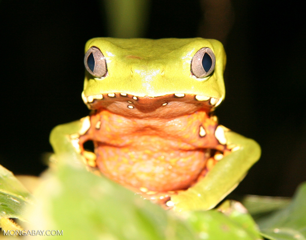 Giant monkey frog in Peru. Photo by Rhett A. Butler