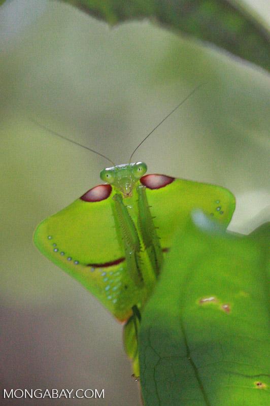 Leaf Mimicking Praying Mantis Suriname 1020a