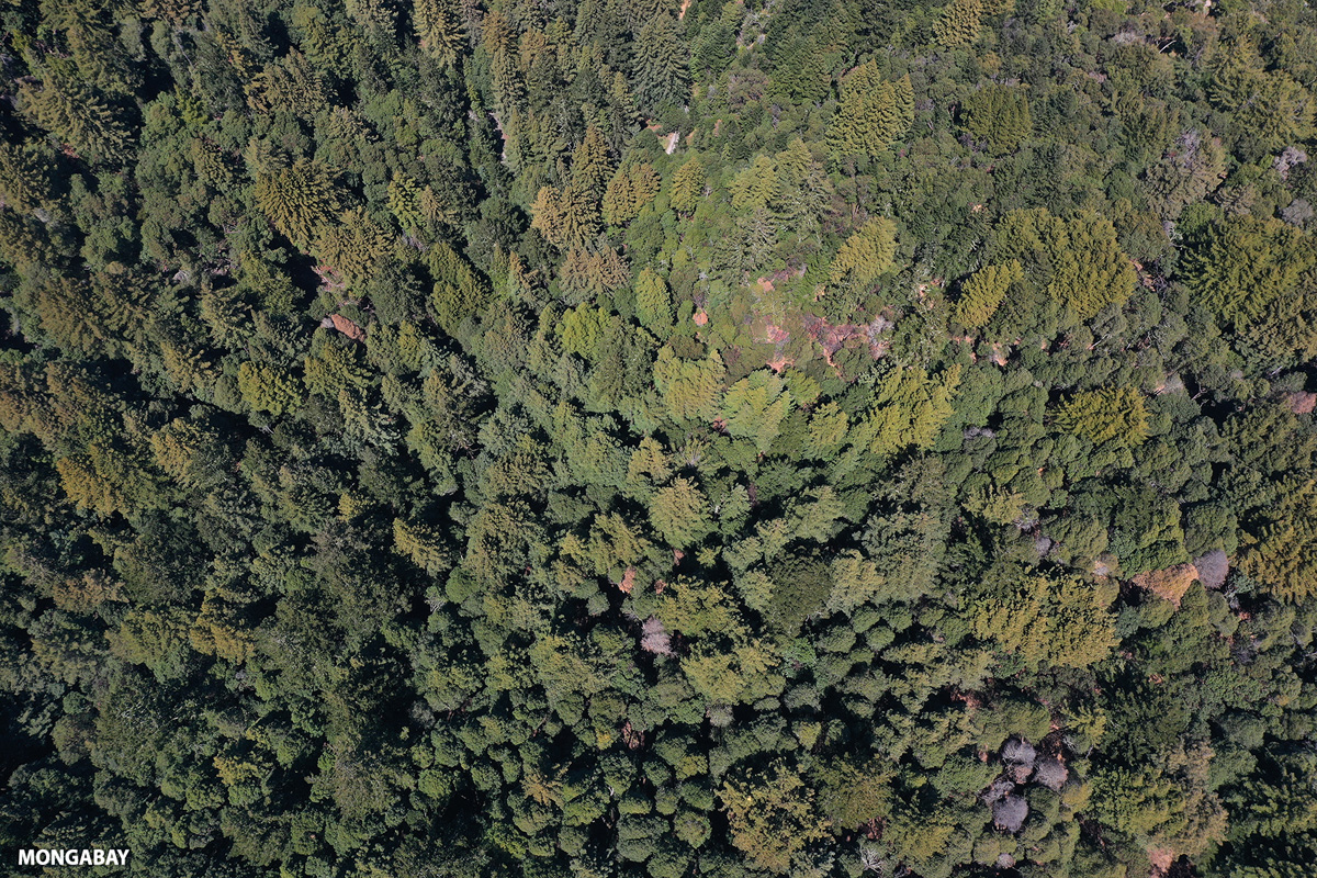 Aerial view of a redwood forest in Woodside, California. Image by Rhett A. Butler.