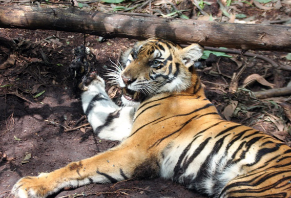 Sumatran tiger that died in SMG/APP's PT. Arara Abadi concession in July 2011