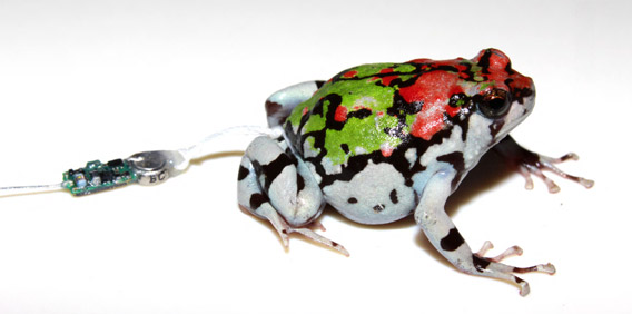 Frogs radio-tracked for first time in Madagascar