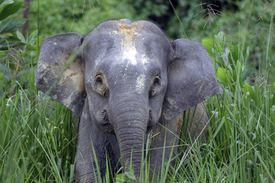 New plantation concessions threaten Borneo pygmy elephants