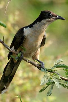 Pied Cuckoo (Clamator jacobinus) in Kolleru, Andhra Pradesh, India.  Photo by J.M.Garg.