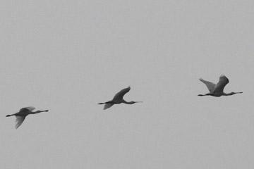 Spoonbills in flight.  Photo by Akhila Vijayaraghavan.