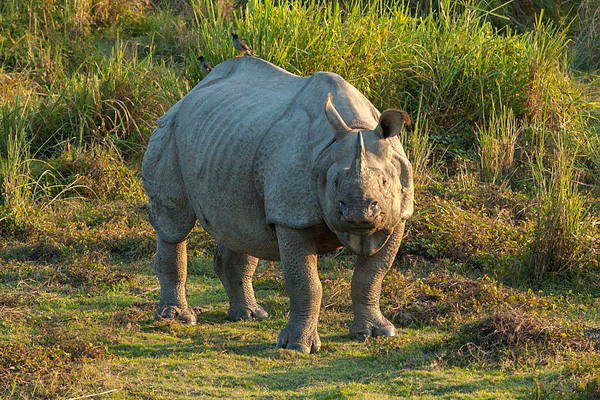 Wild Indian rhinoceros in Kaziranga National Park.  Photo by Yathin S Krishnappa.