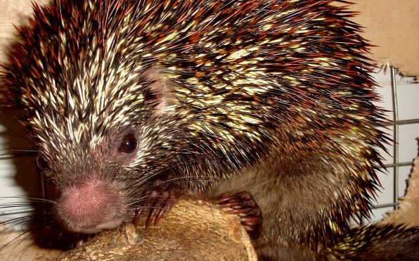 New species tree-dwelling porcupine discovered in critically threatened Brazilian habitat