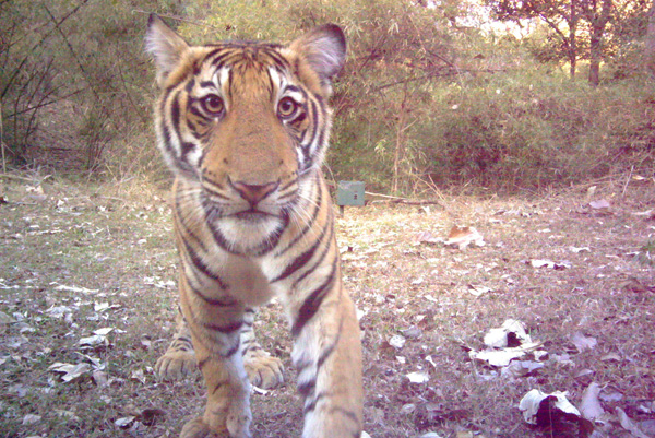 Tiger Cub Caught on Camera