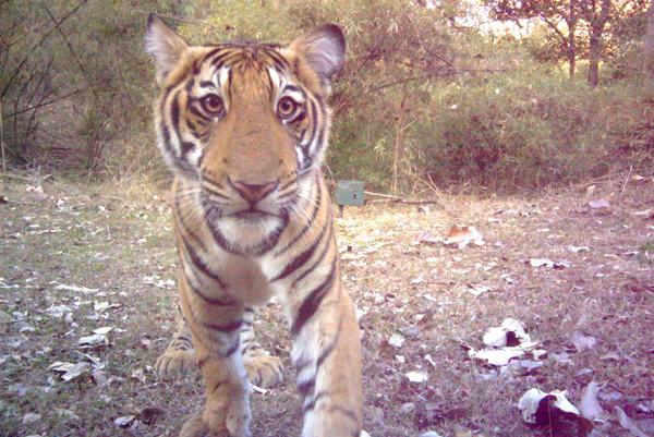 Tiger Cub Caught on Camera