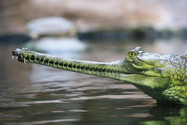 An Indian gharial (Gavialis gangeticus). Photo by Matěj Baťha.