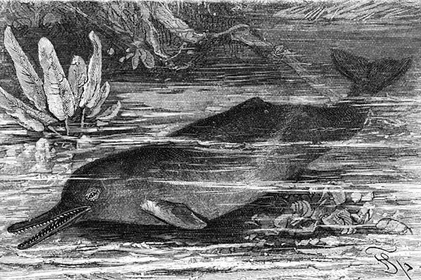 A sketch of the Indus river dolphin.  Brehms Tierleben, Small Edition 1927.