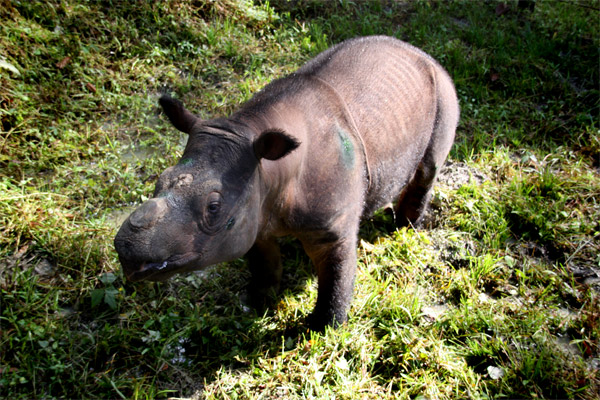 Malaysia May Loan Indonesia Rhinos To Save Species From