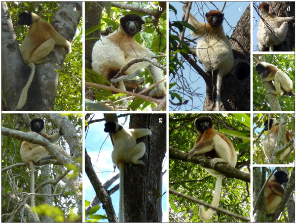 Lemur has unexpectedly wide range, diversity of color variations