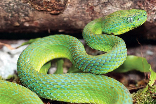 Photo: Stunning new pit-viper discovered in Honduras
