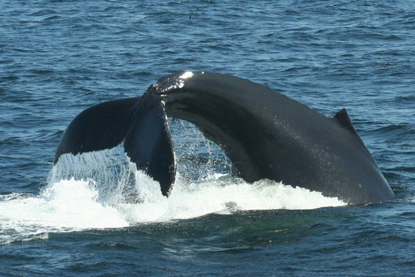 Humpback lobtailing. Photo by: Jennifer Allen / Ocean Alliance