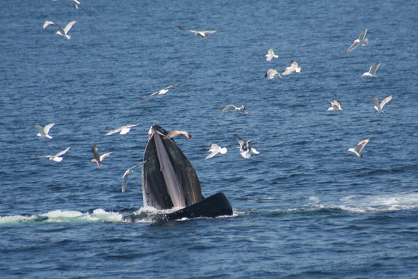Humpback feeding.  Photo by: Jennifer Allen Whale Center of New England