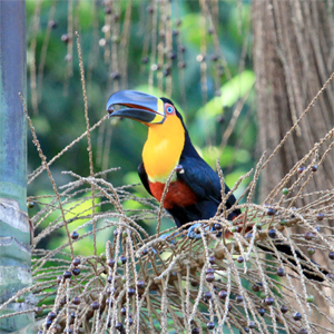 Loss of big fruit-eating birds impacting trees in endangered rainforests