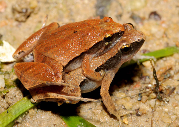Palm oil expansion endangering rare frogs in Malaysia