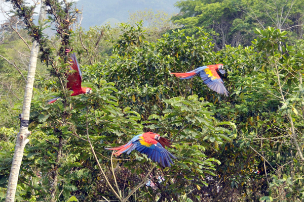 Scarlet macaws in flight.  Photo by Juan Antonio Lopez.