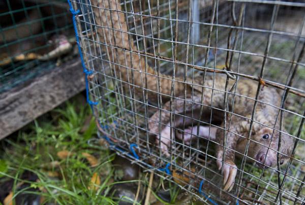 Pangolin held captive as a pet.