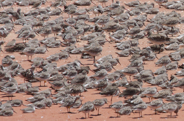A group of Knot and Godwits some of the species at risk due to sea level rise. Photo by Robert Clemens at University Queensland.