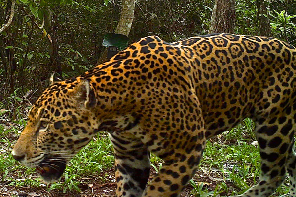 Jaguars of Guatemala: elusive cats caught on film
