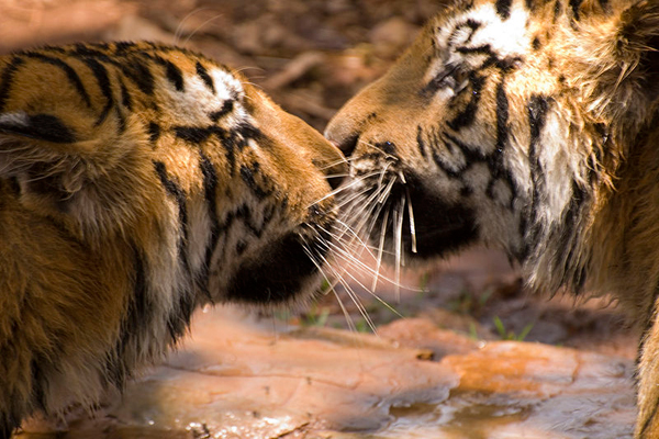 How tigers are faring in their final frontier