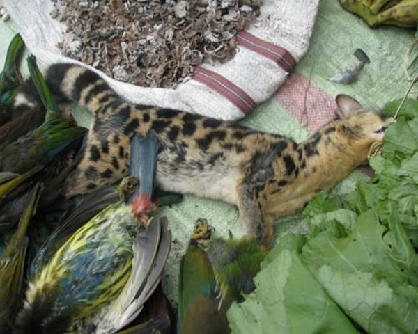 A spotted Linsang (iPrionodon pardicolor/i) at a Tuensang market in eastern Nagaland.  Photo by J.Paramanandham.