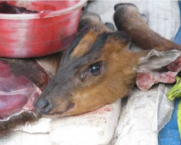 Red Muntjac (iMuntiacus muntjak/i) at a Tuensang market in eastern Nagaland.  Photo by Ramesh Kumar.