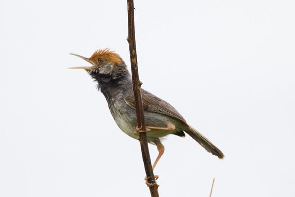 New bird species discovered in Cambodia's largest city
