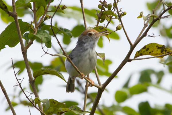 Tailorbird cambogien femelle