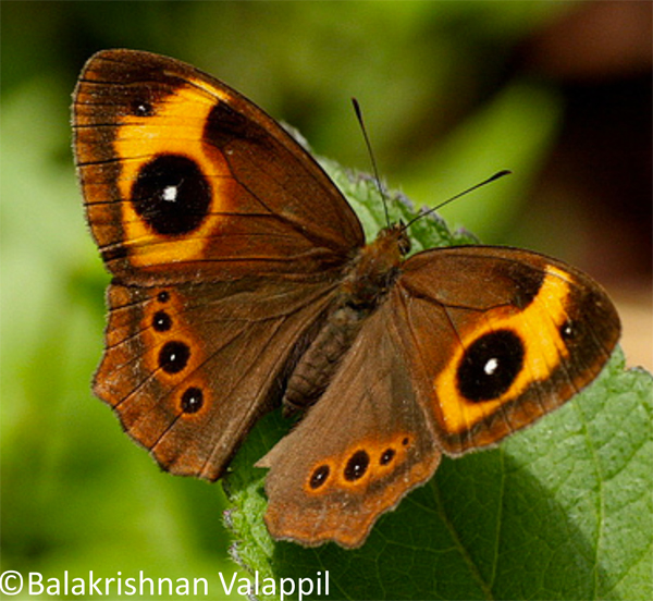 "Red-disc Bushbrown (<i>Heteropsis oculus</i>).  Photo by Balakrishnan Valappil."" ><br /> <i>Red-disc Bushbrown (<i>Heteropsis oculus</i>).  Photo by Balakrishnan Valappil.</i></p> <p>References:</p> <p>Biju, S.D. and Bossyut, F. (2003) New frog family from India reveals an ancient biogeographical link with the Seychelles. Nature, 425, 711-714.</p> <p>Briggs, J.C. (2003) The biogeographic and tectonic history of India. Journal of Biogeography, 30, 381–388.</p> <p>Datta-Roy, A. (2009) The Out-of-India hypothesis: What do molecules suggest? Journal of Biosciences.</p> <p>Karanth, P. (2006) Out-of-India Gondwanan origin of some tropical Asian biota. Current Science, 90(6), 789-792.</p> <p>Kodandaramaiah, U., Lees, D.C., Müller, C.J., Torres, E., Karanth, K.P. & Wahlberg, N. (2010) Phylogenetics and biogeography of a spectacular Old World radiation of butterflies: the subtribe Mycalesina (Lepidoptera: Nymphalidae: Satyrini). BMC Evolutionary Biology, 10, 172.</p> <p class=""hide""> <b>Related articles</b></p> <p>	<b><a href="