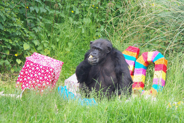 A Chimpanzee Birthday Bash