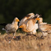Egyptian vultures (Photo by Boris Belchev )
