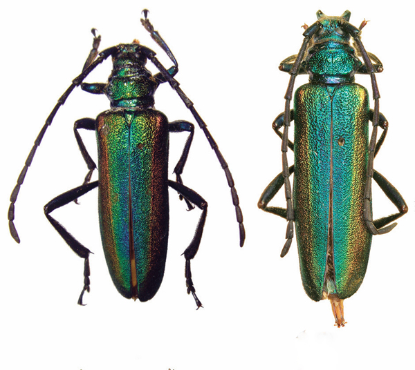 Schwarzerium yunnanum the newly described species: The male beetle is on the left and the female on the right.  Photo by Mei-ying Lin.