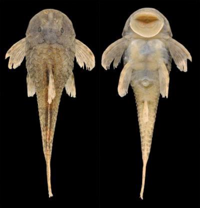 Tiny suckermouth catfish discovered in Brazil