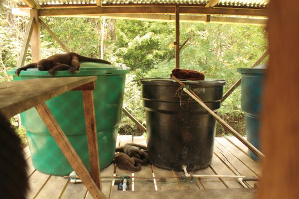 Hora de la siesta en la casa de los animales, tres churucos o monos lanudos (Lagothrix lagothricha) y un mono aullador (Alouatta seniculus) en proceso de rehabilitación duermen en los tanques de agua de la casa. Acá las rejas son para las personas y no para los animales. De estos ya tres se encuentran en libertad absoluta después de haber sido completado su proceso de rehabilitación.