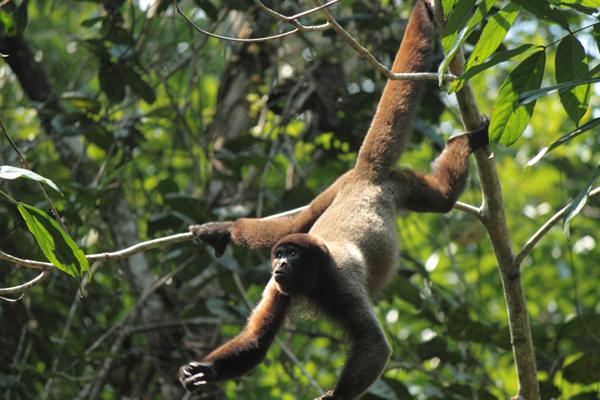 Huito, hembra juvenil de churuco o mono lanudo (Lagothrix lagothricha) rehabilitada y liberada como parte de plan de conservación de la especie. Su madre fue cazada y Huito fue entregada aun siendo muy jóven. En muchos casos las hembras con cría son preferidas ya que la carne es consumida mientras la cría es vendida como mascota. Afortunadamente para Huito, fue rescatada y rehabilitada. Hoy vive libre junto a una manada que fue liberada en el Parque Nacional Natural Amacayacu.