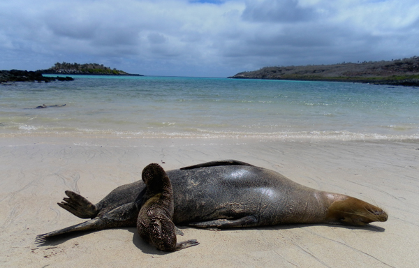 Galapagos sea lion and a pup.  Photo credit: ZSL_Paddy Brock.