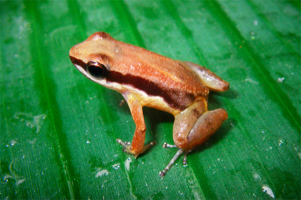 New poison dart frog discovered in 'Lost World'