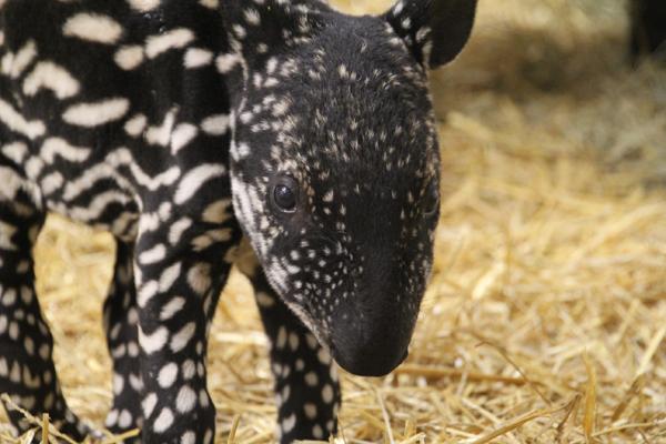 Endangered Malayan tapir baby born at Minnesota zoo