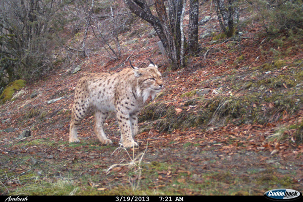 Balkan lynx conservation unifies neighboring countries