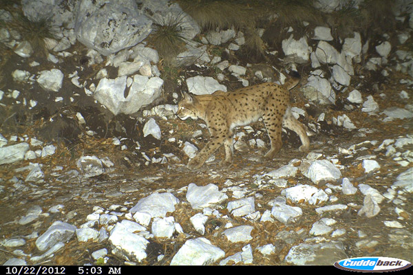 Balkan lynx pictured with camera trap in Puke