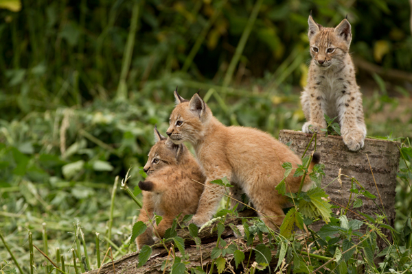 Lynx triplets make their appearance at ZSL Whipsnade Zoo