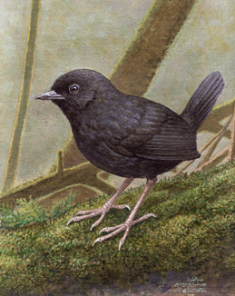 New bird species discovered in Peruvian cloud forest