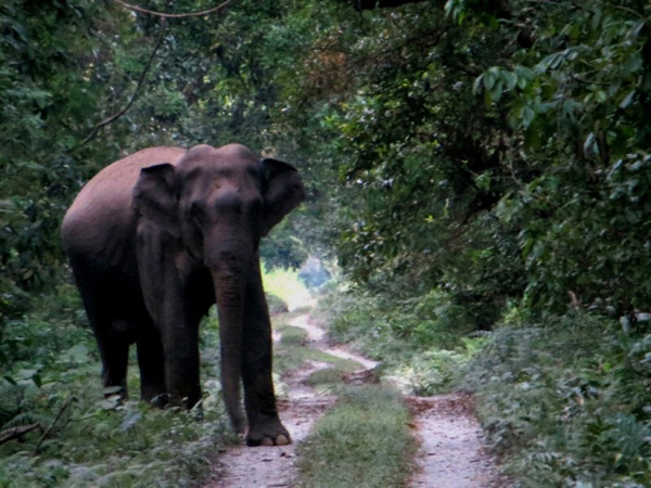 Elephant on the road in Chilapata, North Bengal.  Photo by Shreya Dasgupta.