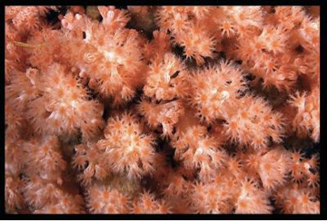 Pink polyps of new species. Photo by: Marc Chamberlain