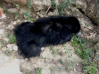 The tranquilized sloth bear. Photo courtesy of Wildlife SOS.