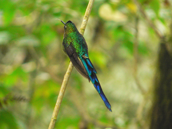 The cloud forests and hummingbirds of Ecuador